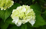 White Flowers Hydrangea  17 Wide Wallpaper