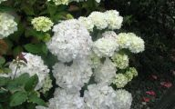 White Flowers Hydrangea  18 High Resolution Wallpaper