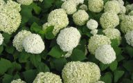 White Flowers Hydrangea  22 High Resolution Wallpaper