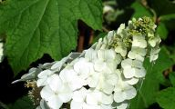 White Flowers Hydrangea  24 Desktop Background