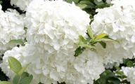 White Flowers Hydrangea  26 Free Wallpaper