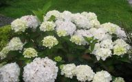 White Flowers Hydrangea  27 Free Wallpaper