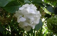 White Flowers Hydrangea  30 Cool Hd Wallpaper
