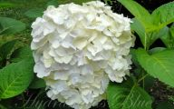 White Flowers Hydrangea  4 Background Wallpaper