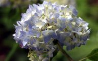White Flowers Hydrangea  6 Desktop Background