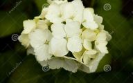 White Flowers Hydrangea  8 Desktop Wallpaper
