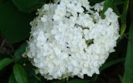 White Flowers Hydrangea  9 Cool Wallpaper