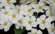 White Flowers Images  2 Widescreen Wallpaper
