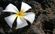 White Flowers In Hawaii  12 High Resolution Wallpaper