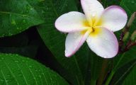White Flowers In Hawaii  14 Background