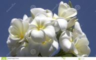White Flowers In Hawaii  18 Cool Wallpaper