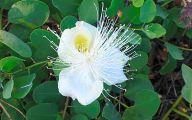 White Flowers In Hawaii  26 Widescreen Wallpaper