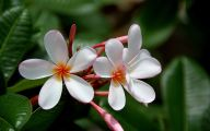 White Flowers In Hawaii  3 Cool Hd Wallpaper
