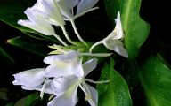 White Flowers In Hawaii  7 Background
