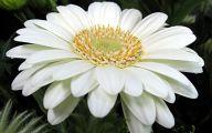 White Gerbera Daisy 1 Free Hd Wallpaper
