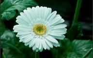 White Gerbera Daisy 11 Desktop Background