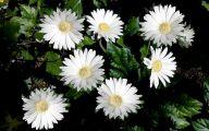 White Gerbera Daisy 12 Background