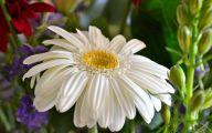 White Gerbera Daisy 14 Cool Hd Wallpaper