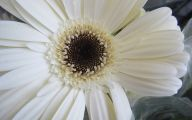 White Gerbera Daisy 19 Free Hd Wallpaper