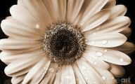 White Gerbera Daisy 21 Widescreen Wallpaper