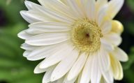 White Gerbera Daisy 24 Background