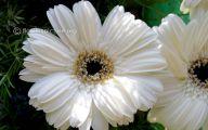 White Gerbera Daisy 39 Free Wallpaper