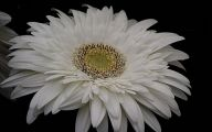 White Gerbera Daisy 8 Cool Hd Wallpaper