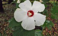 White Hibiscus 13 Hd Wallpaper