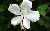 White Hibiscus 22 Free Hd Wallpaper