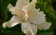 White Hibiscus 24 Hd Wallpaper