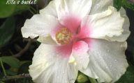 White Hibiscus 4 Free Hd Wallpaper
