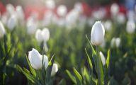 White Tulips 22 Cool Hd Wallpaper