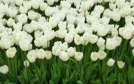 White Tulips 23 Desktop Background