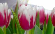White Tulips 24 Desktop Background