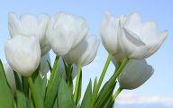 White Tulips 25 Cool Hd Wallpaper