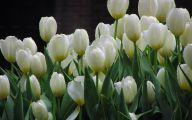 White Tulips 3 Background