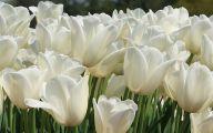 White Tulips 4 Background