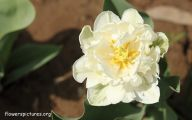 White Tulips 6 Desktop Wallpaper