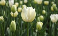 White Tulips 9 Cool Wallpaper