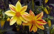 Yellow Dahlia 1 Free Hd Wallpaper