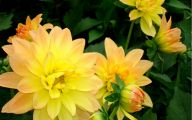 Yellow Dahlia 17 Free Hd Wallpaper