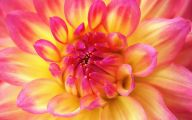 Yellow Dahlia 2 Desktop Wallpaper