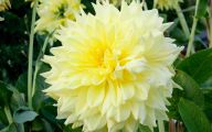 Yellow Dahlia 23 Free Hd Wallpaper