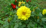 Yellow Dahlia 26 Cool Hd Wallpaper