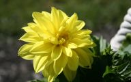 Yellow Dahlia 27 Free Wallpaper