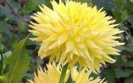 Yellow Dahlia 28 Cool Hd Wallpaper