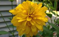 Yellow Dahlia 4 Wide Wallpaper