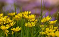 Yellow Flowers Field  10 Cool Hd Wallpaper