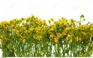 Yellow Flowers Field  12 Free Wallpaper