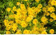 Yellow Flowers Field  14 Cool Hd Wallpaper